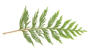 cedar-leaf1